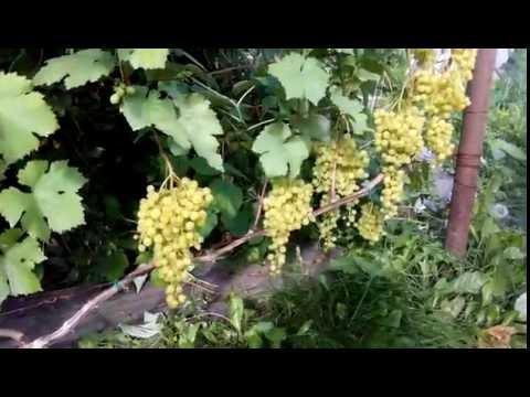 Виноград Алеша