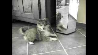 Chiot berger Shetland IRIS : le miroir  Puppy Sheltie : the mirror