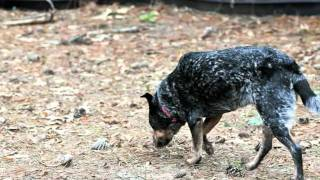 Ruby - Texas Cattle Dog Rescue