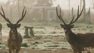 Deer in Rancaupas, Ciwidey Ban…