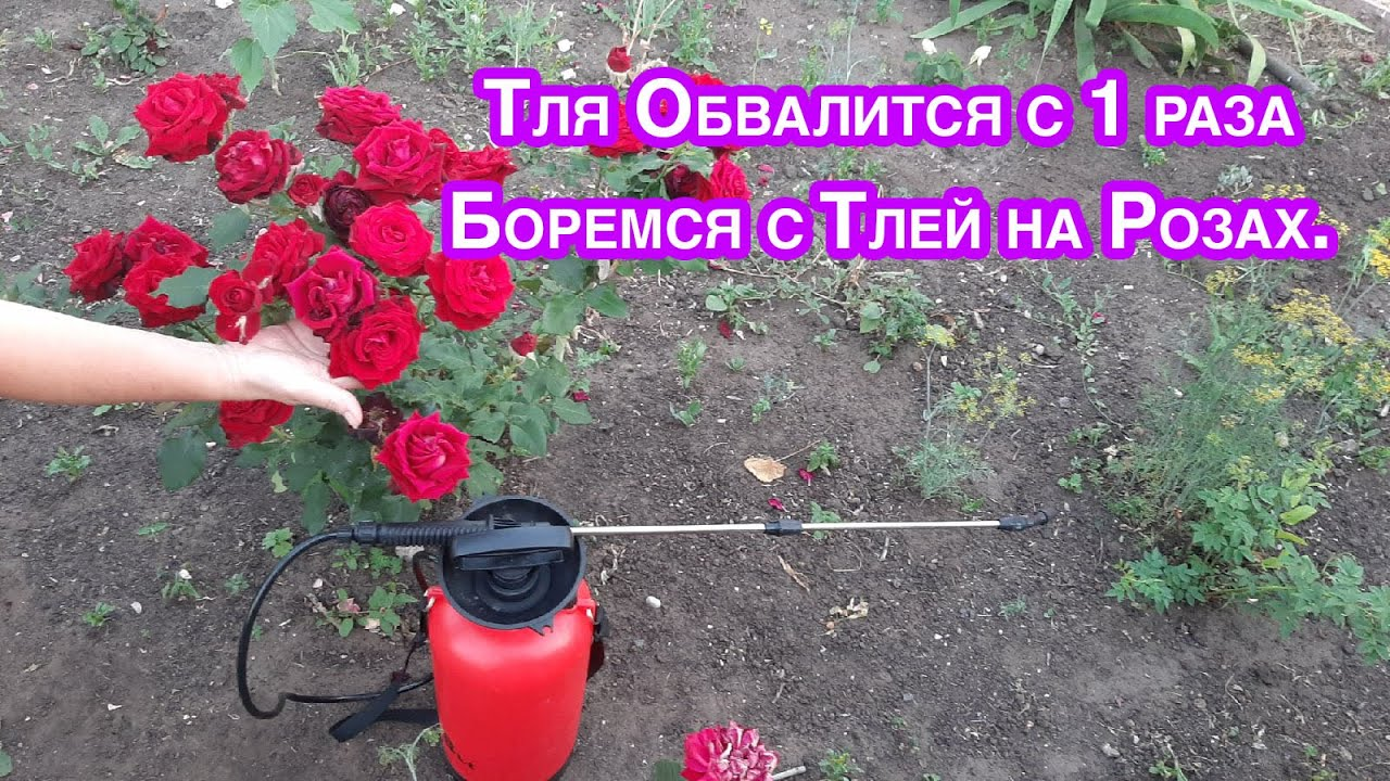 Тля Обвалиться Мгновенно Стоит только обработать кусты народным способом. Боремся с тлей на розах.