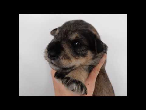 Cakes - Miniature Schnauzer Puppy Introduction - 2 weeks old