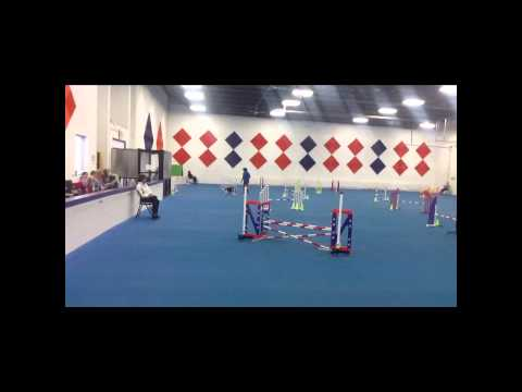 English Springer Spaniel Agility show 2013