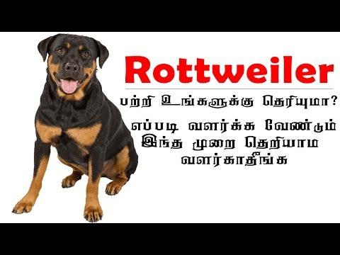 Rottweiler tips and tricks in Tamil ராட்வீலர் நாய்கள் வளர்ப்பது எப்படி #Rottweiler dog