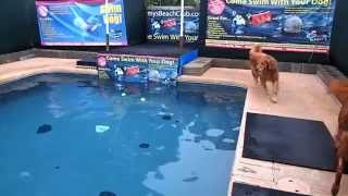 So Which Golden Retriever Will Get The Tennis Balls In The Swimming Pool - Campbell Or Rusty?