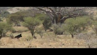 Ostrich Sex on Safari - Hilarious (with comedy commentary).