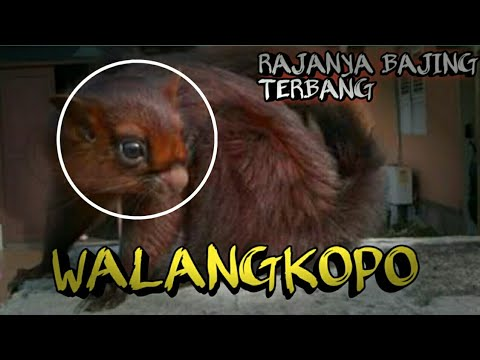 77 Gambar Hewan Walang Kopo HD