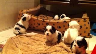 Tp004611099 Maltese Shihtzu Puppies Gorgeous Balls Of Fluff Videos