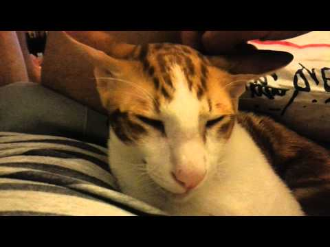 Oriental cat Roger