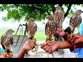 Teetar ka shikar!!!black francolin hunting | Perigrine Falcon Destroys Pigeon Mp3