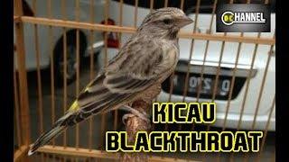 Suara Blackthroat Jantan Gacor Blackthroat Super Gacor Untuk Masteran Kenari Youtube