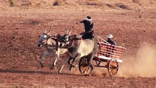 The power of native bulls | Gowdageri race