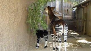 Детёныш окапи появился перед посетителями зоопарка Сан-Диего (новости) http://9kommentariev.ru/