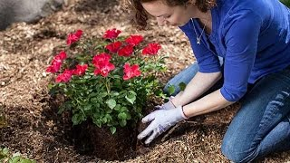 How to care of rose plant || how to grow rose plant || hindi / urdu