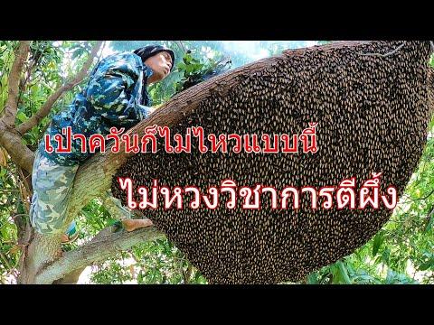 แทบไม่ไหวใหญ่แบบนี้พ่อเฒ่าผึ้งชัดๆ ตีผึ้งหลวงไม่หวงวิชา Cut bees, no safety. قطع النحل ليس آمنًا.