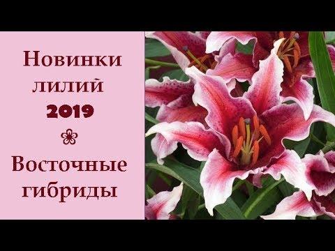 ❀ Новинки лилий 2019: Восточные гибриды