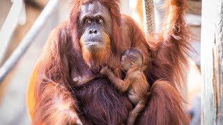 Orangutan Mom Adorably Cuddling Newborn Baby Will Make Your Heart Melt