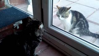 New Persian Kitten Goes Face To Face With Neighbours Cat Through Glass Door