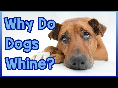 why-do-dogs-whine?
