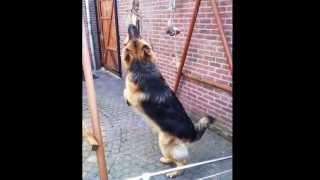 German , owczarek niemiecki , pies obronny   PIES TO NIE ZABAWKA, KTÓRĄ ODSPRZEDASZ