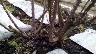 Весенняя обрезка роз (парковых, флорибунда, чайных)