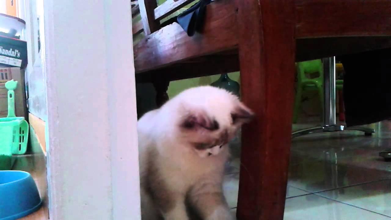 Kucing Ragdoll Mylo Bercanda Youtube