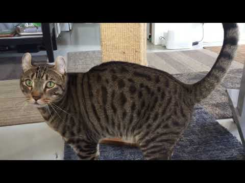 My very vocal American Curl / Bengal cat loves to fetch nylon bolts (Tuco the Cat bonus content)