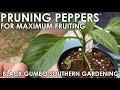 Pruning Pepper Seedlings for Maximum Production    Black Gumbo