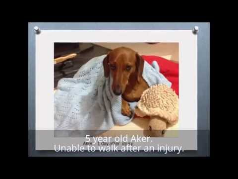 hqdefault - Dachshund Back Pain Treatment