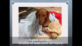 Aker 5year Old Dachshund - Back Injury- Treated Successfully With Acupuncture
