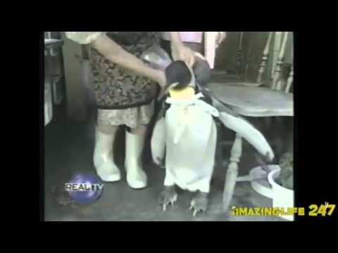Ngộ nghĩnh chim cánh cụt