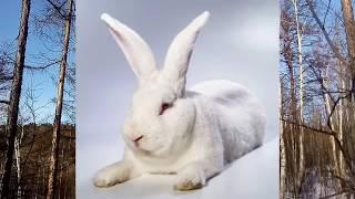 Кролик Белый Великан - кратко о породе.