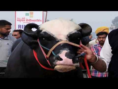 NILI RAVI  Champion bulls   Livestock championship