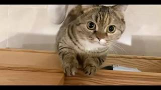 Funny cat so cute 丨 Munchkin cat Always greedy wants to eat丨TOP cat