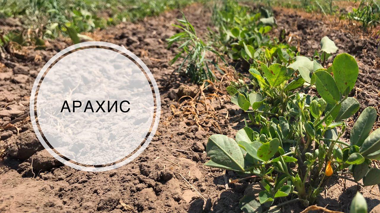 Выращивание АРАХИСА | Борьба с сорняками