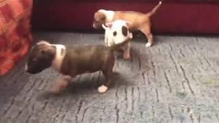 Маленькие минибулики играют!