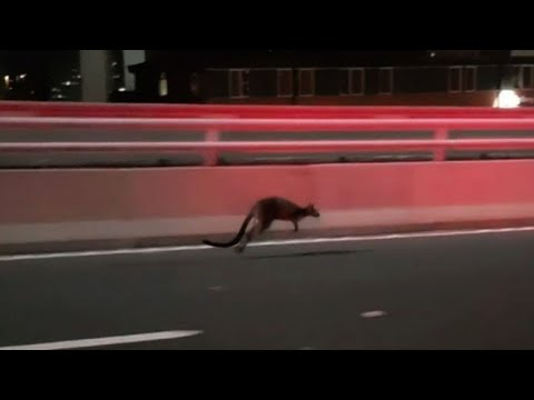 Wild wallaby leads Aussie cops on hop-speed chase