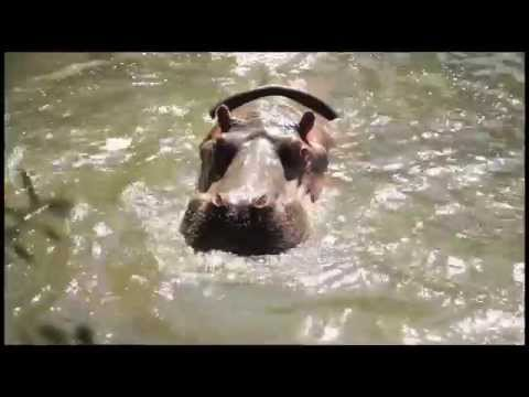 Hippo feeding time at Auckland Zoo