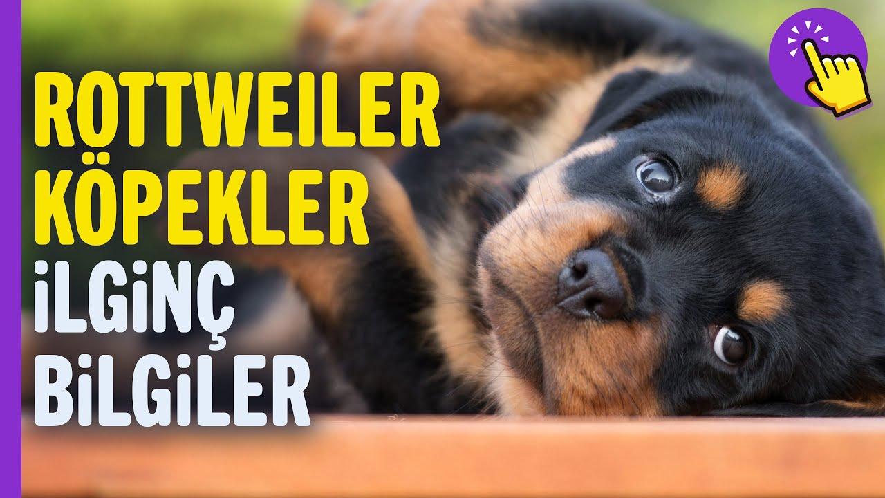 Rottweiller köpekler hakkında ilginç bilgiler | Hayvanlar Alemi | İlginç bilgiler | Aklında olsun