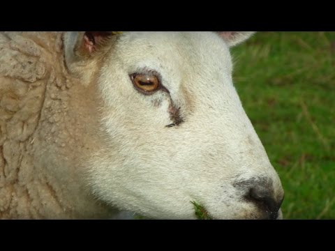 Horses and Sheep and their Amazing Eye Movements