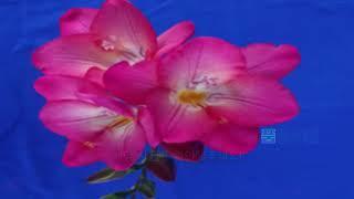 [신바람 오늘의 지식] 프리지어 신품종 『핑크지아』