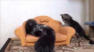 Котята мейн кун из питомника куноград