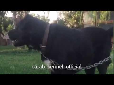 ✔️Black Sarabi Dog