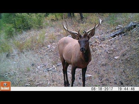 Trail Camera Clips Nov 13,2017 Nice Bull Elk and Bears