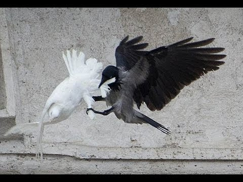 Pope's peace doves are attacked...again!!!