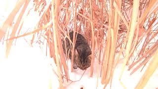 камышовый кот из соседних дач  reed cat from neighboring cottages