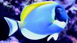 Care for Powder Blue Tang 粉藍吊 Acanthurus leucosternon