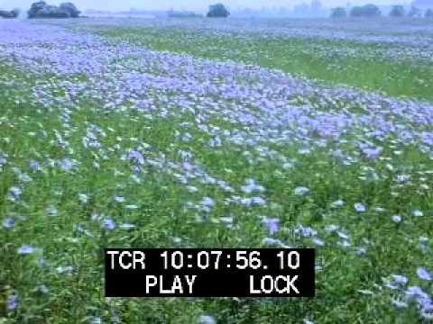 Field of Blue Flax Flowers