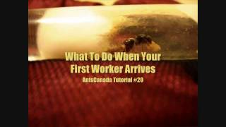 What To Do When Your First Worker Arrives - AntsCanada Tutorial #20