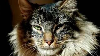 Порода кошек. Норвежская лесная кошка.Кошка с толстым подшерстком и длинной шерстью